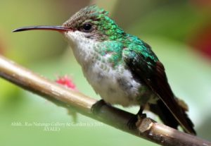 Vervain Humming Bird at Ahhh Ras Natango Gallery and Garden Tour Jamaica